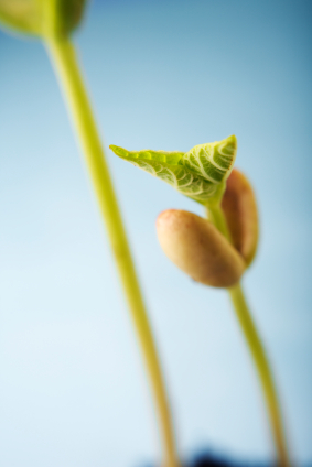 Bean seedling