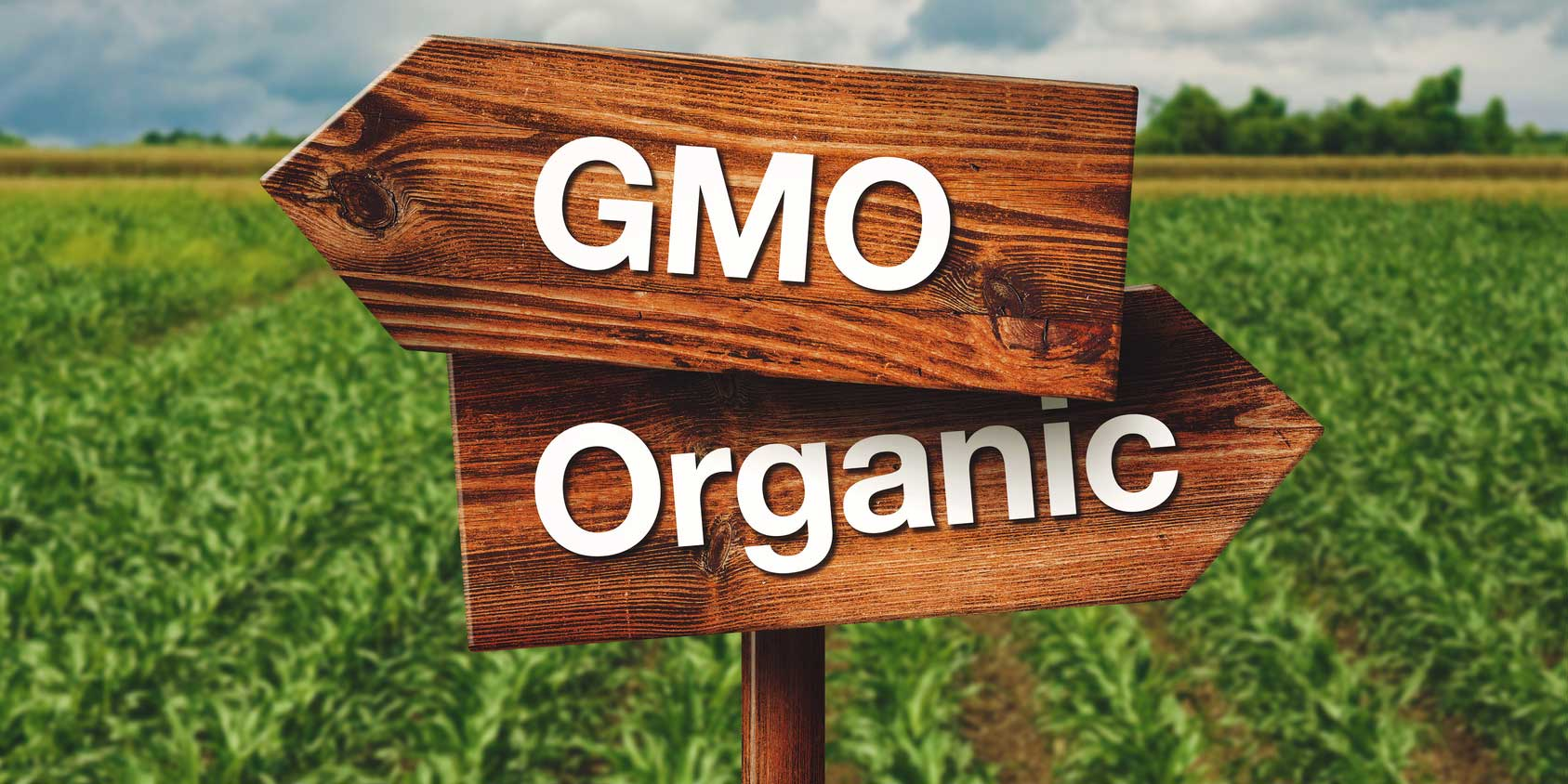 genetically modified organisms affect on agriculture essay